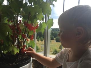 Hier sind Fotos von 5.July, da möchte Estelle bereits ernten aber müsste doch noch ein paar Tagen warten.....